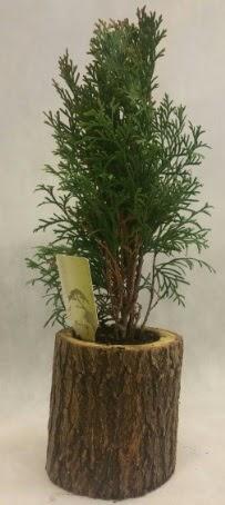 SINIRLI STOK Selvi Bonsai Doğal kütükte  Ağrı İnternetten çiçek siparişi