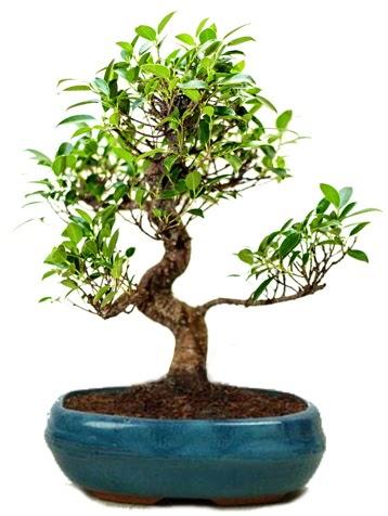 25 cm ile 30 cm aralığında Ficus S bonsai  Ağrı çiçek gönderme sitemiz güvenlidir