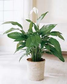 Ağrı online çiçek gönderme sipariş  spatilyum ithal büyük boy