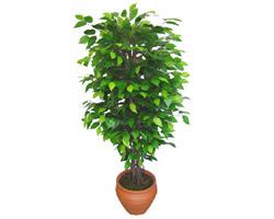 Ficus Benjamin 1,50 cm   Ağrı anneler günü çiçek yolla