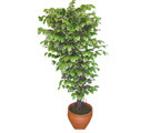 Ficus özel Starlight 1,75 cm   Ağrı cicek , cicekci