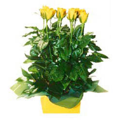 11 adet sari gül aranjmani  Ağrı online çiçekçi , çiçek siparişi