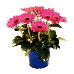 vazo içerisinde gerbera çiçekleri   Ağrı online çiçek gönderme sipariş