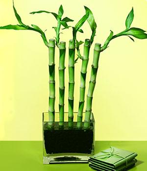 Ağrı anneler günü çiçek yolla  Good Harmony Lucky Bamboo camda