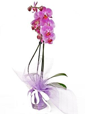 Ağrı anneler günü çiçek yolla  Kaliteli ithal saksida orkide