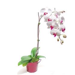 Ağrı çiçek gönderme  Saksida orkide