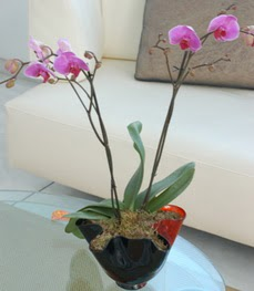 Ağrı çiçekçi mağazası  tek dal ikili orkide saksi çiçegi