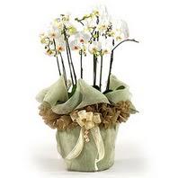 Ağrı çiçek siparişi sitesi  3 dal orkide , saksi çiçegi , 3 kök orkide
