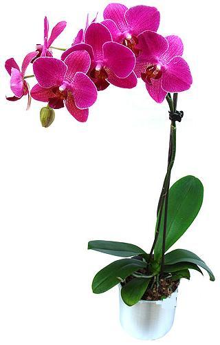 Ağrı çiçekçi mağazası  saksi orkide çiçegi