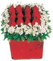 Ağrı çiçek gönderme  Kare cam yada mika içinde kirmizi güller - anneler günü seçimi özel çiçek