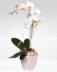 1 dallı orkide saksı çiçeği  Ağrı online çiçekçi , çiçek siparişi