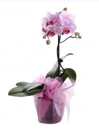 1 dal pembe orkide saksı çiçeği  Ağrı kaliteli taze ve ucuz çiçekler