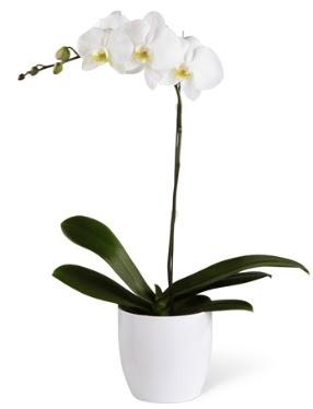 1 dallı beyaz orkide  Ağrı 14 şubat sevgililer günü çiçek