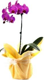 Ağrı çiçek siparişi sitesi  Tek dal mor orkide saksı çiçeği