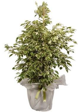 Orta boy alaca benjamin bitkisi  Ağrı internetten çiçek satışı