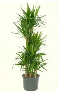 7 li yucca saksı bitkisi  Ağrı çiçek servisi , çiçekçi adresleri