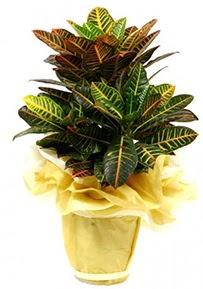 Orta boy kraton saksı çiçeği  Ağrı 14 şubat sevgililer günü çiçek