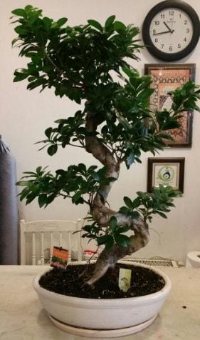 100 cm yüksekliğinde dev bonsai japon ağacı  Ağrı İnternetten çiçek siparişi