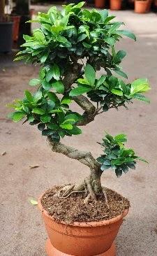 Orta boy bonsai saksı bitkisi  Ağrı internetten çiçek siparişi