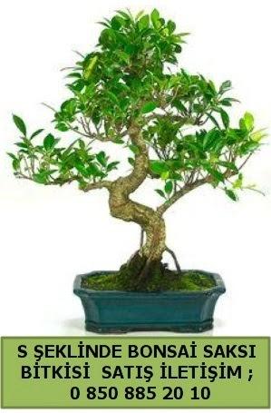 İthal S şeklinde dal eğriliği bonsai satışı  Ağrı çiçek gönderme