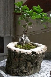 Ahşap kütük içerisinde ginseng bonsai  Ağrı internetten çiçek siparişi