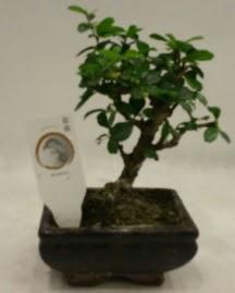 Küçük minyatür bonsai japon ağacı  Ağrı çiçek gönderme