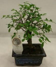 Minyatür ithal japon ağacı bonsai bitkisi  Ağrı çiçek satışı