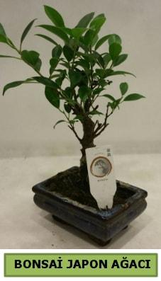 Bonsai japon ağacı saksı bitkisi  Ağrı çiçek servisi , çiçekçi adresleri