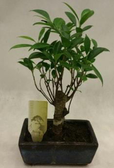 Japon ağacı bonsai bitkisi satışı  Ağrı çiçekçi telefonları