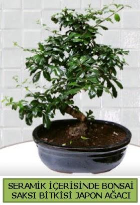 Seramik vazoda bonsai japon ağacı bitkisi  Ağrı çiçek siparişi sitesi