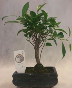 Bonsai japon ağacı bitkisi satışı  Ağrı çiçek gönderme sitemiz güvenlidir