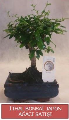 İthal küçük boy minyatür bonsai ağaç bitkisi  Ağrı çiçekçi telefonları
