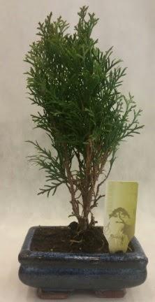 SINIRLI SAYIDA ÜRÜN Selvi Bonsai  Ağrı İnternetten çiçek siparişi