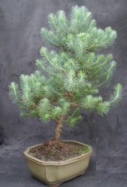 Bonsai çam ağacı japon ağacı bitkisi  Ağrı çiçek gönderme sitemiz güvenlidir