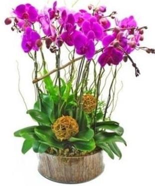 Ahşap kütükte lila mor orkide 8 li  Ağrı internetten çiçek satışı