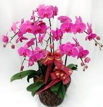 Sepet içerisinde 5 dallı lila orkide  Ağrı ucuz çiçek gönder