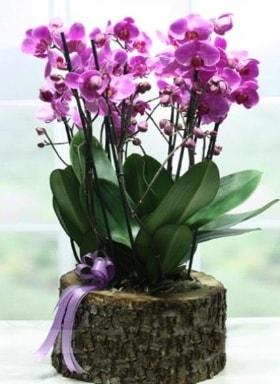 Kütük içerisinde 6 dallı mor orkide  Ağrı ucuz çiçek gönder