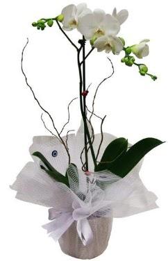 Tek dallı beyaz orkide  Ağrı cicek , cicekci