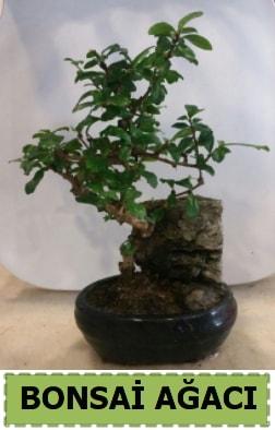Bonsai ağacı japon ağacı satışı  Ağrı hediye çiçek yolla