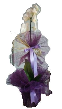 Tek dallı beyaz orkide süper kalite ithal  Ağrı çiçek siparişi sitesi