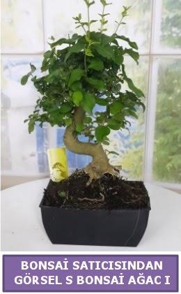 S dal eğriliği bonsai japon ağacı  Ağrı çiçek satışı