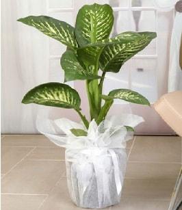 Tropik saksı çiçeği bitkisi  Ağrı çiçek satışı