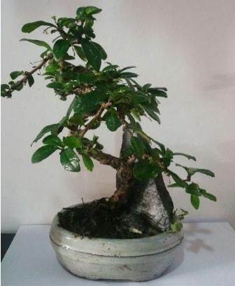 S şeklinde ithal bonsai ağacı  Ağrı çiçek yolla
