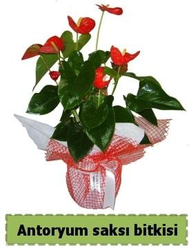 Antoryum saksı bitkisi satışı  Ağrı çiçek , çiçekçi , çiçekçilik