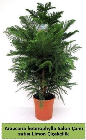 Salon Çamı Satışı Araucaria heterophylla  Ağrı çiçek satışı