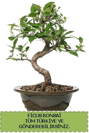 Ficus bonsai  Ağrı çiçek gönderme sitemiz güvenlidir