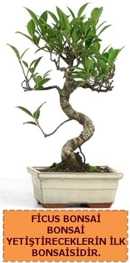Ficus bonsai 15 ile 25 cm arasındadır  Ağrı çiçek yolla