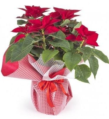 Atatürk çiçeği saksı bitkisi  Ağrı çiçek gönderme sitemiz güvenlidir