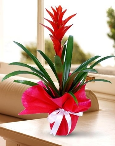 Guzmanya Saksı Çiçeği  Ağrı çiçek yolla