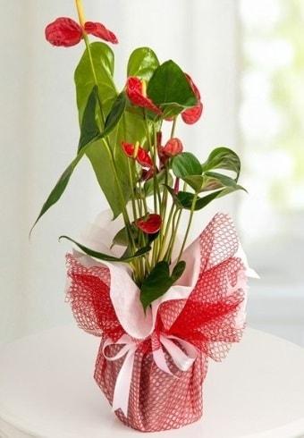 Anthurium Saksı Çiçeği  Ağrı hediye çiçek yolla